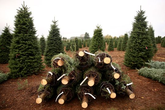 amazon christmas trees wont come from oregon national supply tight - Christmas Tree Amazon