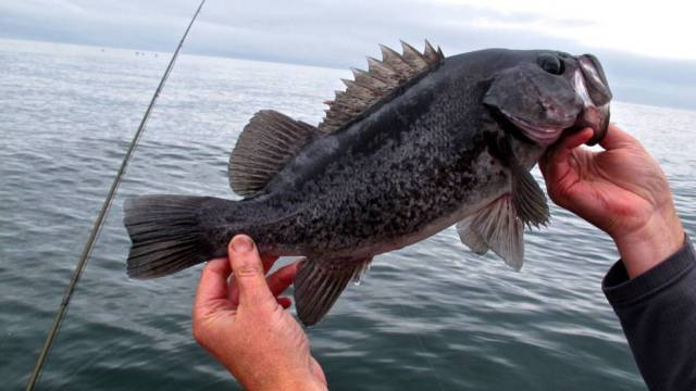 Open rockfish waters may expand | eClips