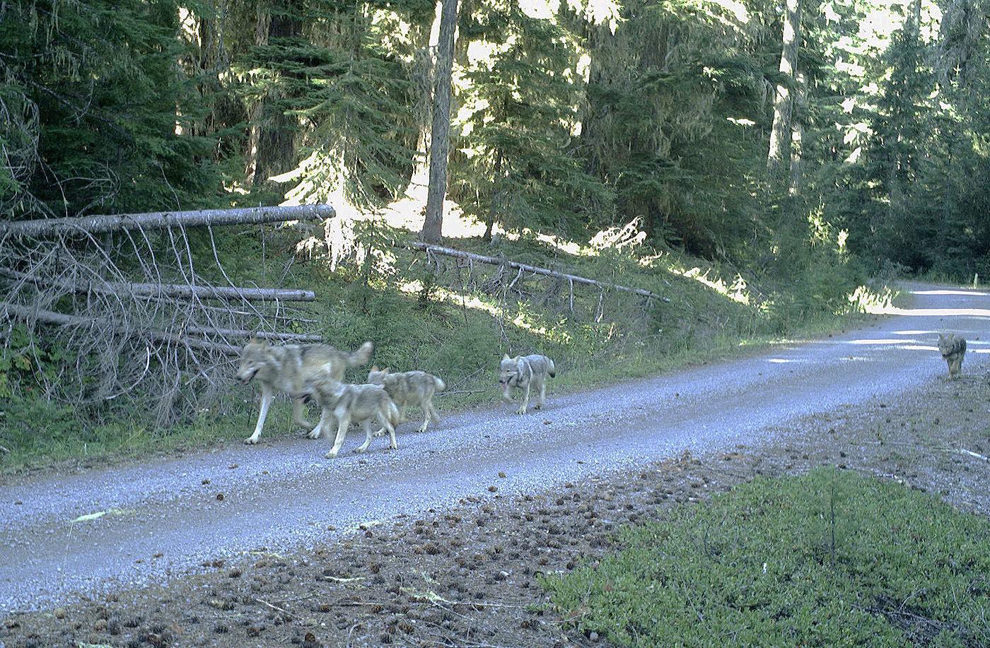 Wildlife Biologists Collar Wolf In Western Oregon Eclips